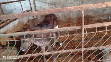 Животные - Студенческое: Срочно не дорого Продаю породистую тёлачку галштинка возраст неделя