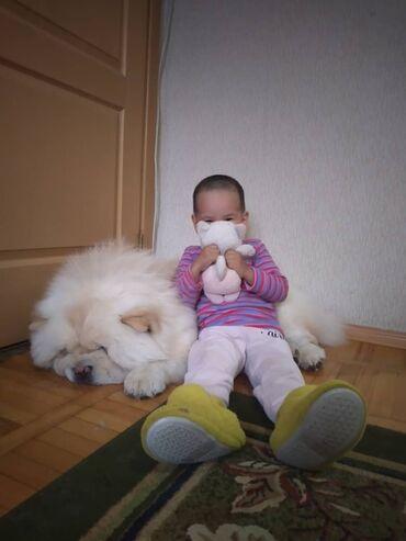 Собаки - Кыргызстан: ЧАУ ЧАУ ЧАУ!! РОДОСЛОВНАЯ. ВЯЗКА! НЕ ПРОДАЕТСЯ!