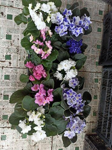 Фиалки цветущие, взрослые