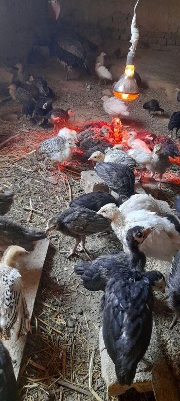 Животные - Сулюкта: Срочна сатылат 450 ками бар бир айлыктан откон
