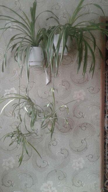 Комнатные растения - Кыргызстан: Продаю Хлорофитум