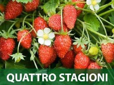Semena | Arandjelovac: Jagoda QUATTRO STAGIONI semeCena:550din/300 semenaOva vrsta jagode