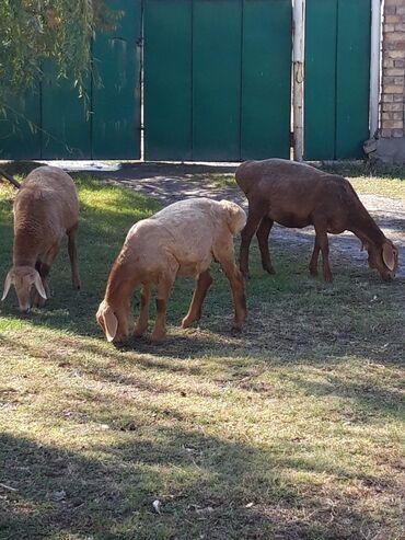 138 объявлений   ЖИВОТНЫЕ: Продаю   Овца (самка), Баран (самец)   Гиссарская