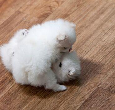Για σκύλους - Αθήνα: Beautiful pomeranian puppies Potty trained, vaccinated and wormed