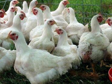Продаю Бройлерных кур живым весом Экологический чистый продукт