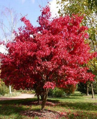 Klon ağaci 50 manata olanida var