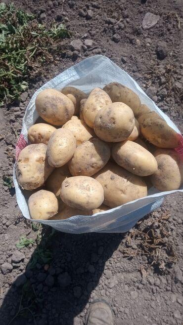 73 объявлений: Картошка.продаю картошку.калибр средний и отборный.доставка выше