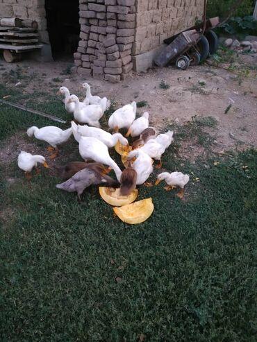 57 объявлений   ЖИВОТНЫЕ: Продаю гуси утки по 6 месяцев общий 12 шт 1шт гусь 700 утки по 550