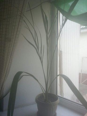 Финиковая пальма примерно 3 года 3000т. в Бишкек