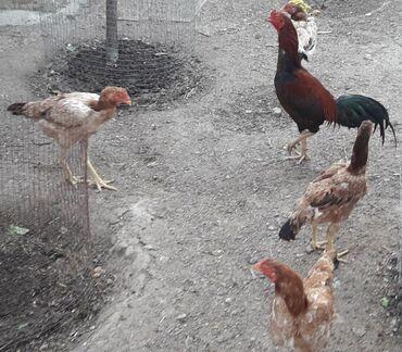Şəkildə gördüyünüz türk cinsi heyvanların yumurtaları satılır. Tam