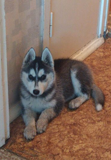 Продаю щенка Хаски 1'5 месяца девочка