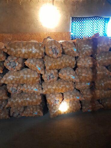 репродукция художников в Кыргызстан: Продаю семена и отборные картошки сорт Пикассо привезённый из Голланди