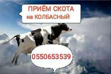 Животные - Кыргызстан: КУПЛЮ СКОТ В ЛЮБОМ ВИДЕНА КОЛБАСНЫЙ ВАРИАНТВ любом месте в любое время