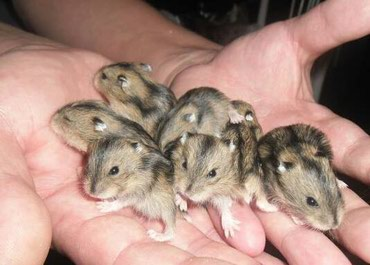 Bakı şəhərində Hamster