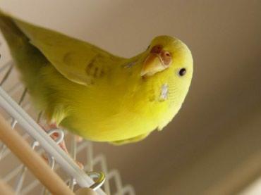 Взрослые самки волнистых попугаев От 500 сом в Бишкек