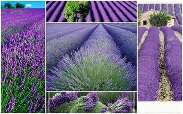 Semena | Arandjelovac: Seme Lavande Cena 550din-50 semenki