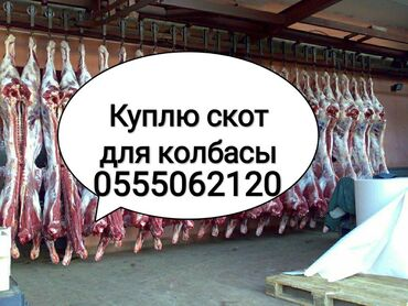 В колбасный цех принимаем Крупно рогатый скот На забой коров телок