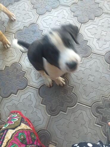 Животные - Кызыл-Туу: Продаю щенокотец Алабай,мать азиятская афчарка