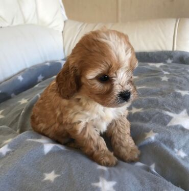 Cavapoo Puppiescavapoo puppies available for any interested home and