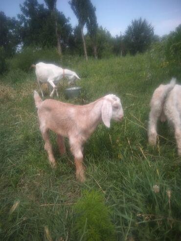 Животные - Полтавка: Продаю заанонубийские козы. Козлята мальчик и девочка. Девочка краснов