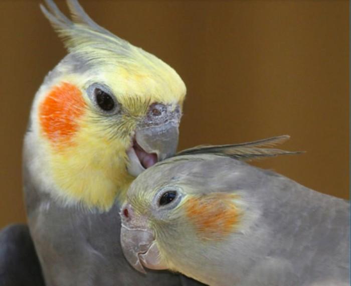 Продаем попугаев ! Карэлы очень умные птички ! Порадуйте своих близких таким подарком !!