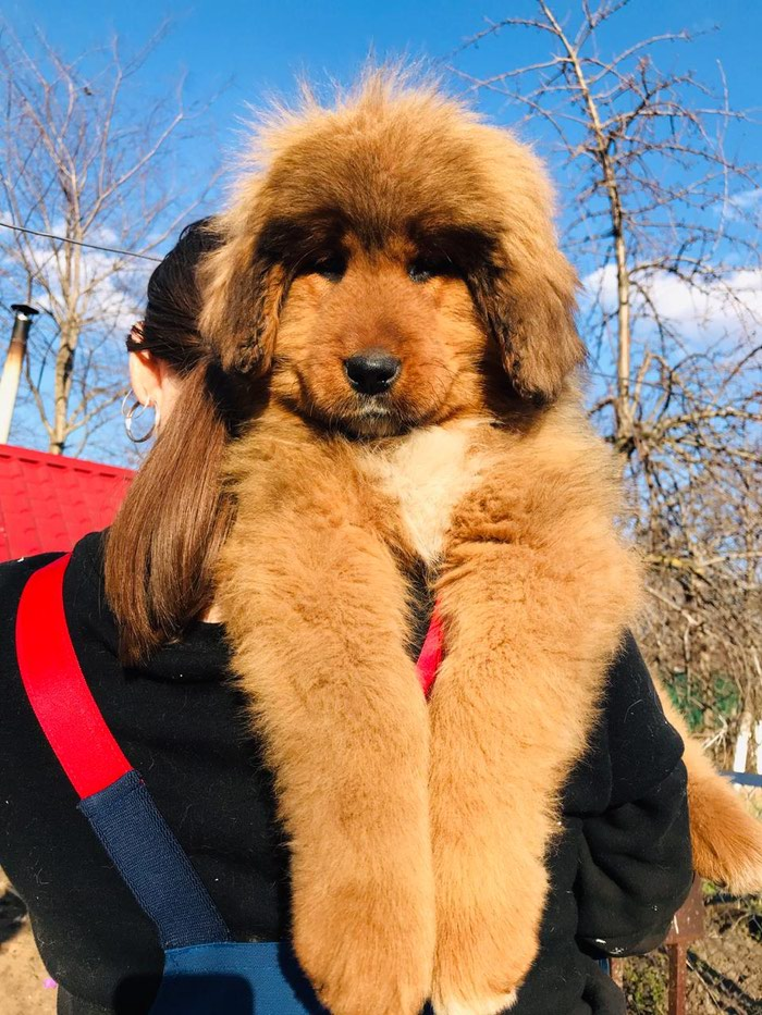 Tibetan mastiff puppies for sale for 1000 USD in Bakı: Dogs on lalafo az