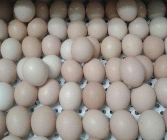 Продаем яйцо инкубационное породыкобб 500 и росс 308 яйцо с россии с: Продаем яйцо инкубационное породы ,кобб 500 и росс 308 яйцо с россии с
