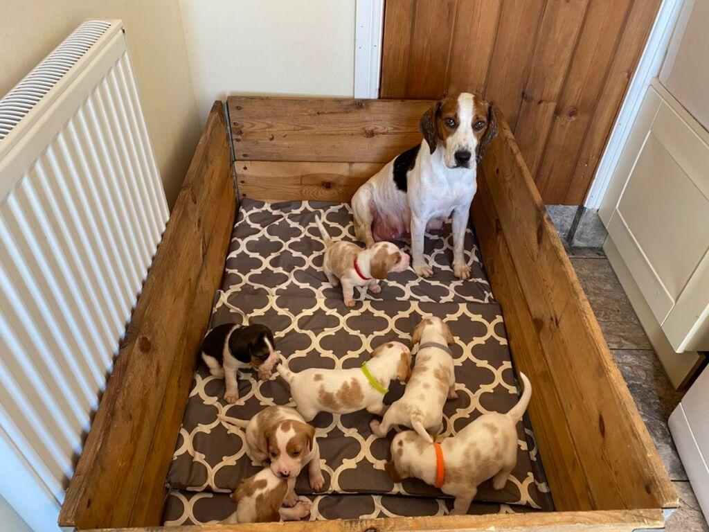 Πώληση κουτάβια BeagleWhatsapp (+)Ρίξτε μια ματιά σε αυτό το: Πώληση κουτάβια BeagleWhatsapp (+)Ρίξτε μια ματιά σε αυτό το