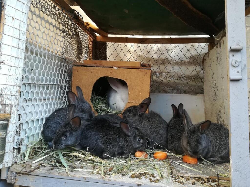 Продаю крольчат помись Нзб и серый великан месяц по 250 сом. Photo 4