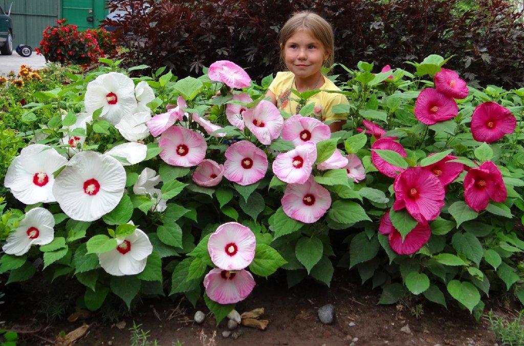 Саженцы декоративных садовых многолетников, кустарников   и