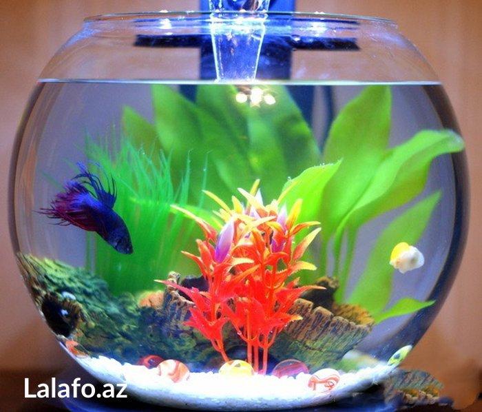 Bakı şəhərində Yumuru akvarium. 5 litrəlik yumuru akvarium, dekor və rəngli qrunt.