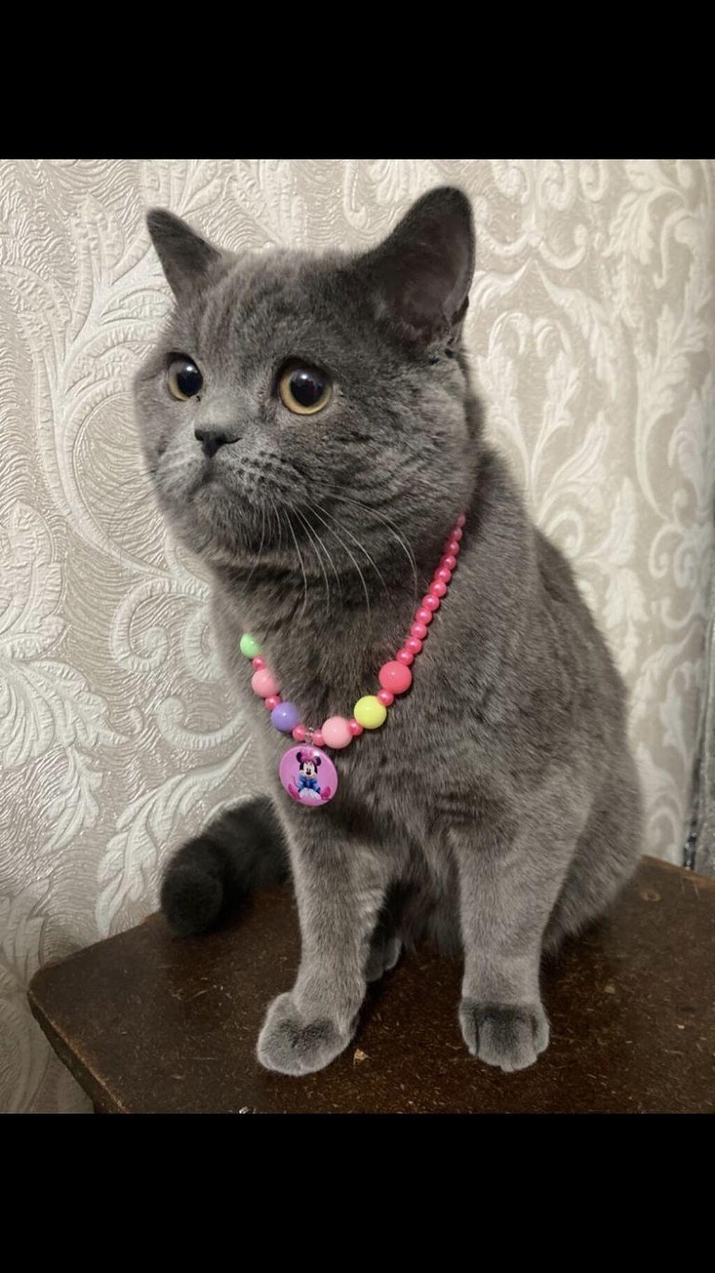 Продаю кота 9 месяцев,  порода: шотландский вислоухий: Продаю кота 9 месяцев,  порода: шотландский вислоухий