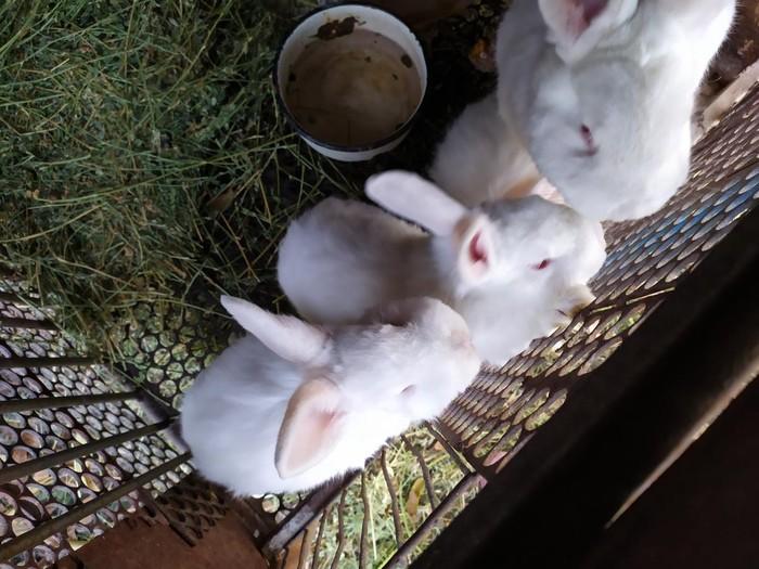 СРОЧНО!!!!!! продаю кроликов НЗБ !!!БОЛЬШИХ 1500с И МАЛЕНЬКИХ 700с. Photo 3