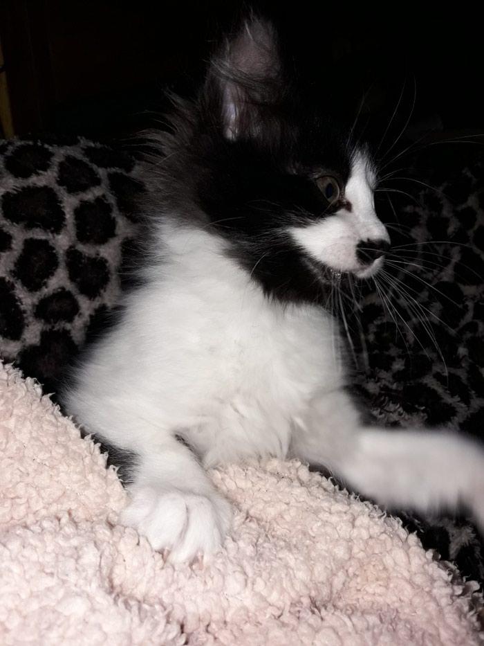 Χαριζετε μαλλιαρό γατακι θηλυκό 4 μηνών υγιέστατο εντος αττικής. Photo 2