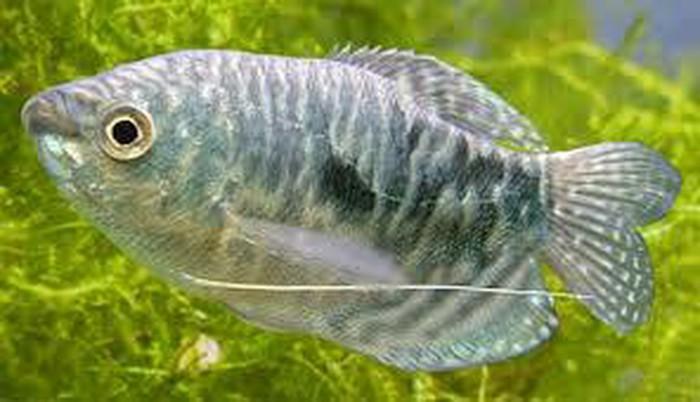 Аквариумние рибки цени договорние. Photo 1