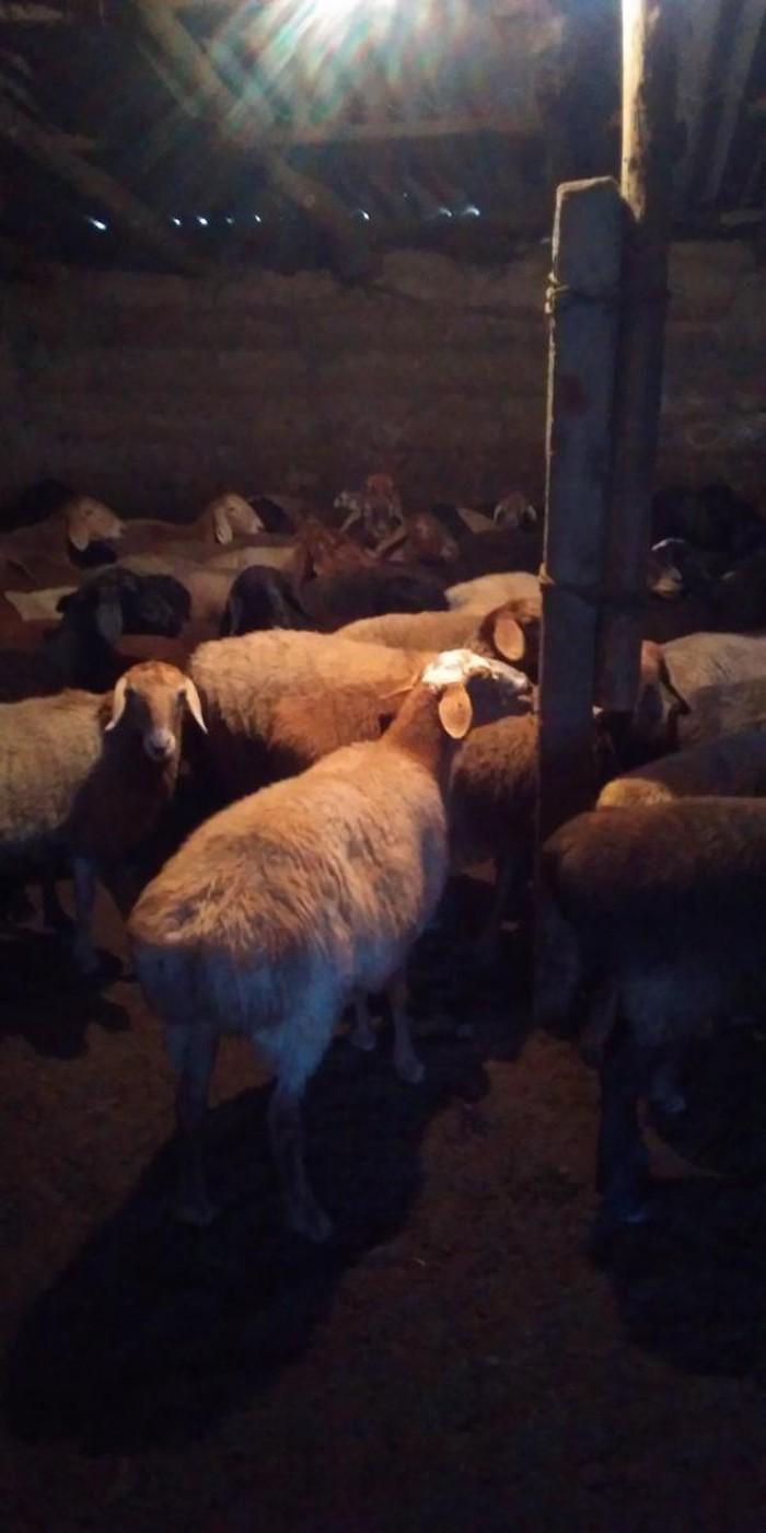 Продаю овец маток (покрытых)оптом. Photo 4