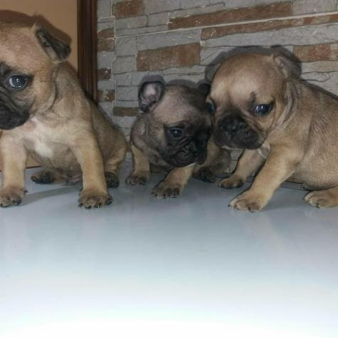 Fawn french bulldogs for sell in Greece. Photo 1
