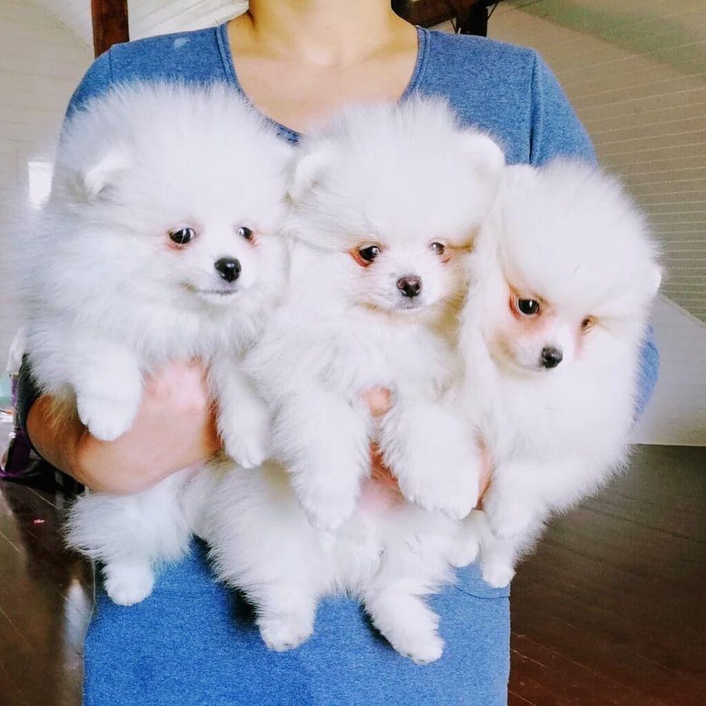 Teacup Pomeranian κουτάβια Διαθέσιμο προς πώληση