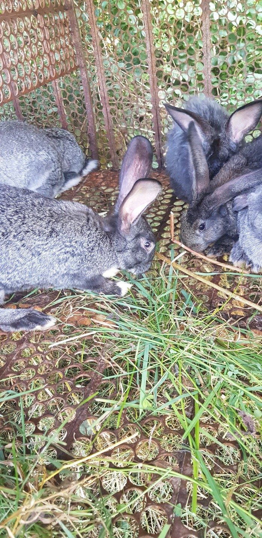 Продаю кролик мясные. Photo 3