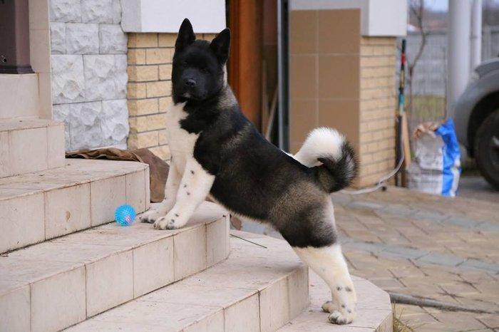 Bakı şəhərində В племенном питомнике Kattyval продаются щенки американской акиты!