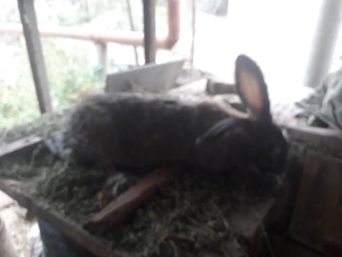 Продаю кролиху возраст 1 год порода фландр. Photo 3