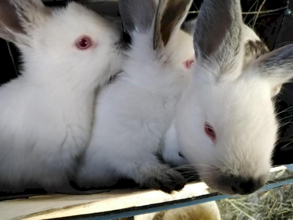 Продаю чисто кровных кроликов Калефорния родились 22. 09. Photo 2