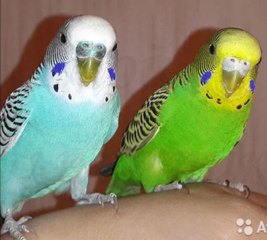 Волнистые попугайчики а так же есть разные виды Кареллы, Неразлучники, Ожереловые и т д