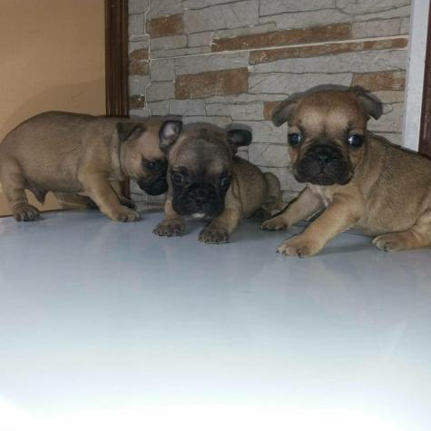 Fawn french bulldogs for sell in Greece. Photo 2