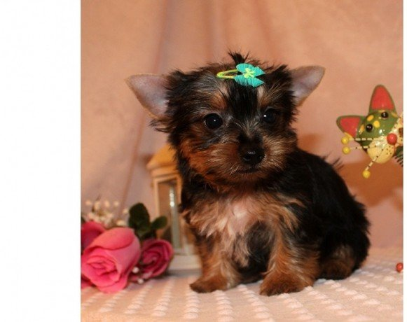 purebreed yorkie purebred tiny yorkie puppies for sale purebred tiny teacup 1262