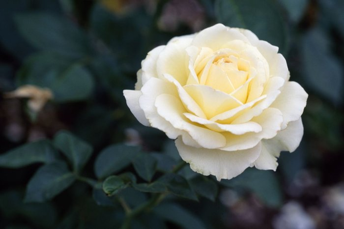 50 Σποροι Ασπρο Τριανταφυλλο. Photo 0