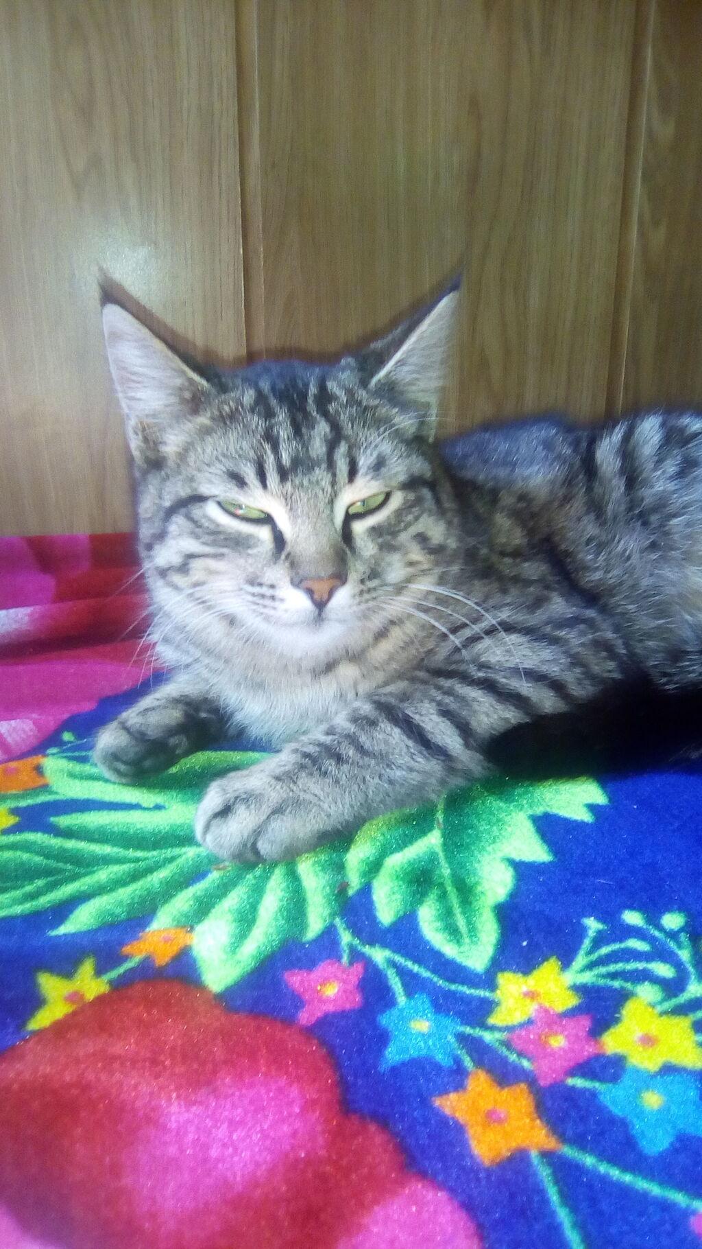 Отдам кота в хорошие руки, простой котик,  возраст точно неизвестен скорее всего чуть больше года
