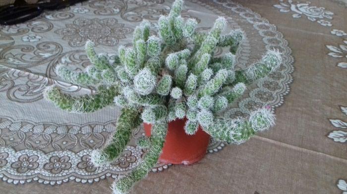 Красивый неприхотливый кактус 50 сом. Photo 0