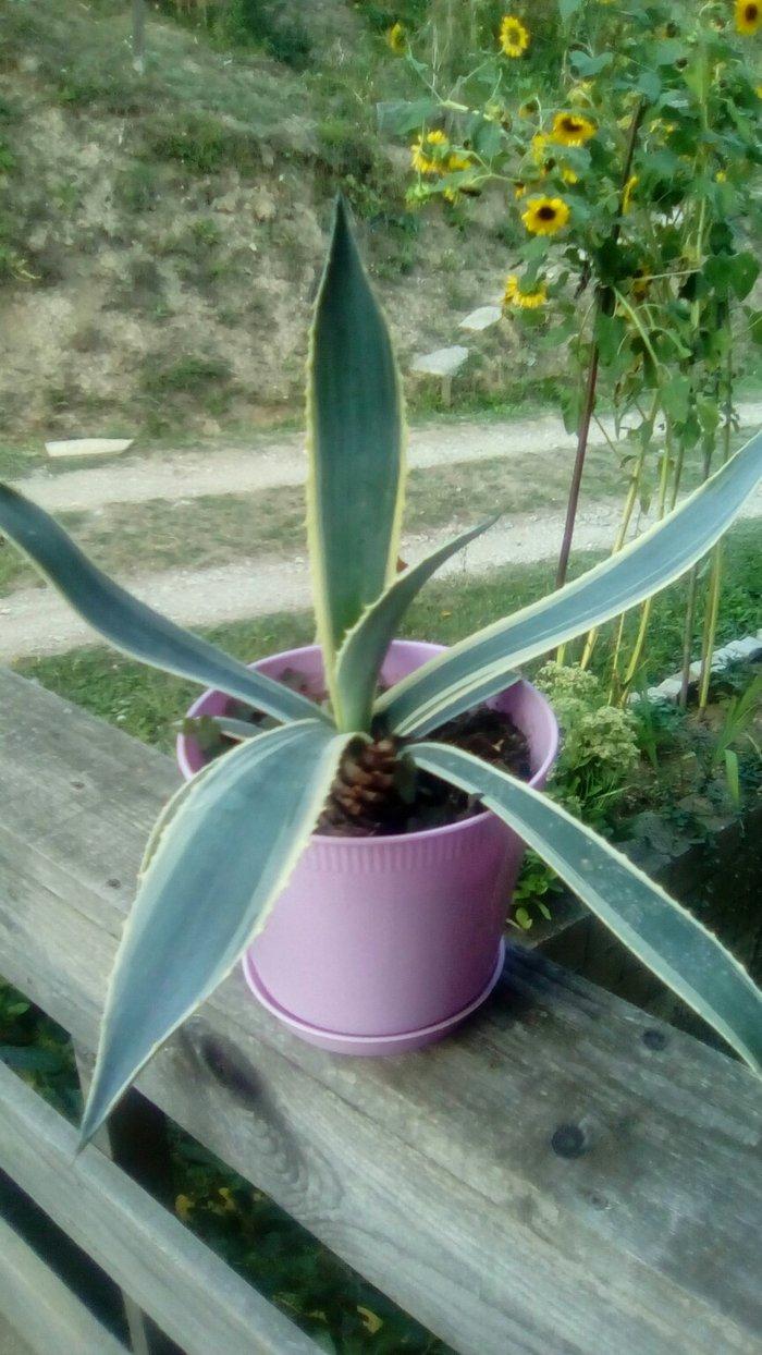 Aloja kaktus - Ivanjica