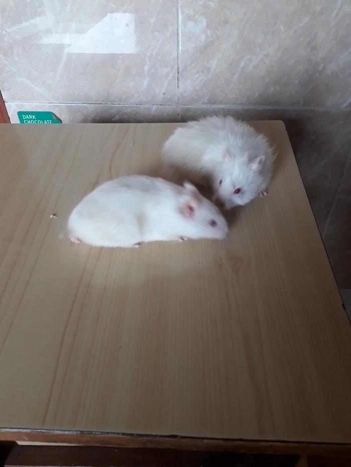 Сирийские хомячки. Photo 0